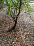 Small Tree: Augusta